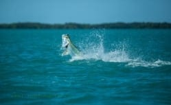 Aaron Snell was kind enough to share this picture of a tarpon in full leap. Photo/guiding Courtesy Captain Aaron Snell