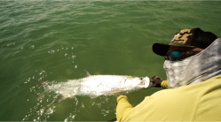 Tedward Grabberhands Margo grabs a smaller tarpon for a finish to an epic day. Photo/guiding John O'Hearn